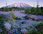 Mount St Helens National Monument, WA<br /> A carpet of dwarf lupine and Cardwell's penstemon in the alpine meadows of Lahar with first light on Mount St Helens