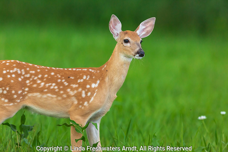 White-tailed fawn standing in a northern Wisconsin meadow.