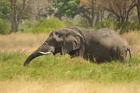 African Bull Elephant grazing  in the Okavango Delta, Botswana Africa.