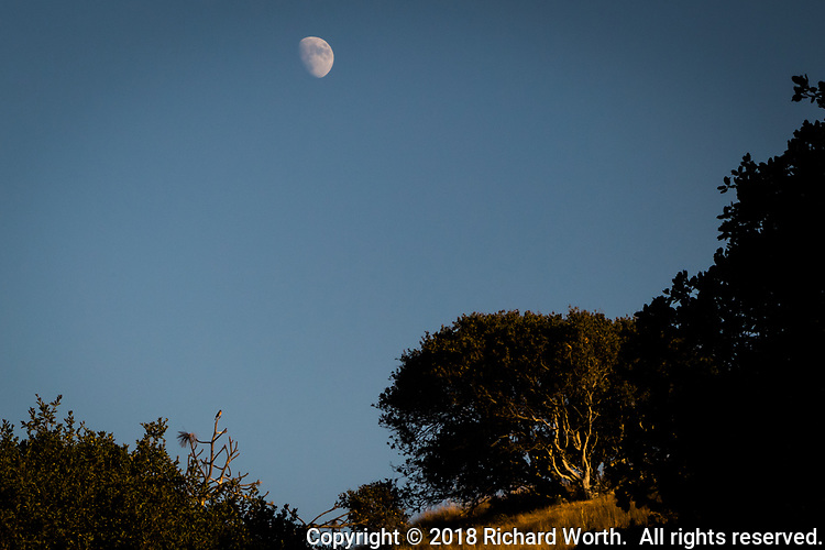 Late on a September afternoon, the waxing gibbous moon is over the hills of Coyote Hills Regional Park.  Barely discernible, a bird perches on a high point of bare branches and surveys the scene.