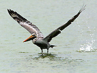 Brown pelican, adult non-breeding, taking off