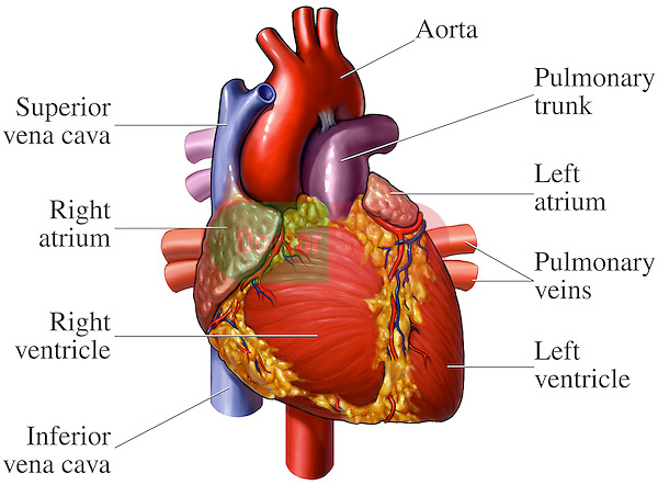 heart anatomy - anterior (front) view | doctor stock, Human Body