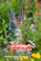 01162-12501 Ruby-throated Hummingbirds (Archilochus colubris) at feeder by flower garden, Marion Co.  IL