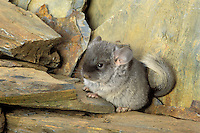 Chinchilla/Long-tailed Chinchilla (Chinchilla lanigera) 2 weeks old. Chinchillas have the highest fur density of any land animal. Range: southern Andes Mountains in Chile. Popular as pets. Controlled situation.