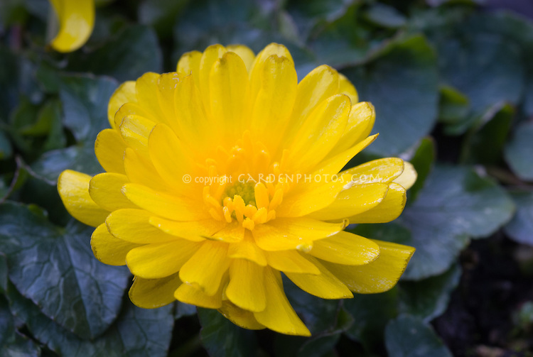 Double flowered buttercup Ficaria verna 'Double Bronze' aka 'Ranunculus ficaria 'Double Bronze'