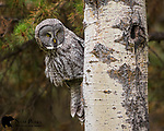 Great gray owl perched on aspen tree. Grand Teton National Park, Wyoming.