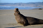 Bull elephant seal vocalizing at Ano Nuevo State Park