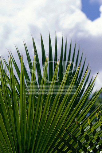 Victoria Falls, Zambia. Radiating palm leaf against puffy clouds in a blue sky.