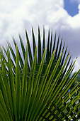 Victoria Falls, Zambia. Radiating palm leaf against puffy clouds in a blue sky.