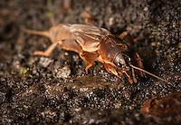 Mole Cricket (Gryllotalpidae)- Arenal, Costa Rica.