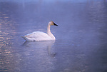 Lone trumpeter swan swims through fog rising from pond.