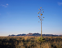 Grassland with Agave, Agave ssp., Elgin, Huachuca Mountains, Arizona, USA, May 2005