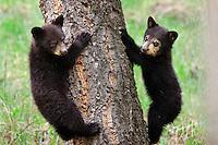 Young wild Black Bear (Ursus americanus) cubs.  Western U.S., Spring.