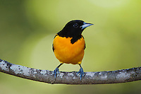 Baltimore Oriole, Icterus galbula, male, Uvalde County, Hill Country, Texas, USA, April 2006