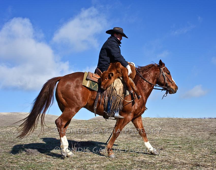 Cowboy horseback carrying a stray calf at the Spring Hill Ranch in Shandon, California.