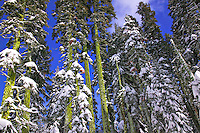Tall trees with snow Yosemite National Park