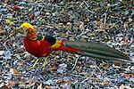 Animais. Aves. Faisão. Foto de Juca Martins.