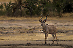 Greater Kudu (Tragelaphus strepsiceros) male, Kruger National Park, South Africa