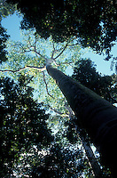 Giant guapinol tree (hymenaea couabaril) on Punta Catedral in Manuel Antonio National Park, Costa Rica