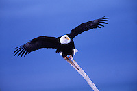 A Bald eagle (Haliaeetus leucocephalus) balanced on a stick in preparation for flight.