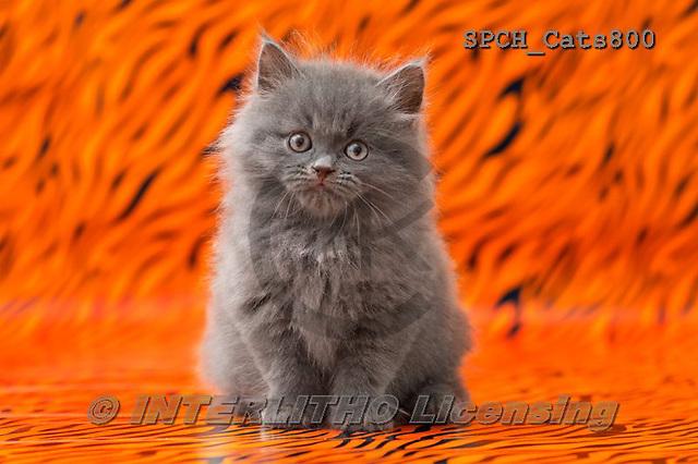 Xavier, ANIMALS, REALISTISCHE TIERE, ANIMALES REALISTICOS, cats, photos+++++,SPCHCATS800,#a#
