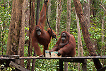 Bornean Orangutans (Pongo pygmaeus wurmbii) - drink milk from the Camp Leakey feeding platform.