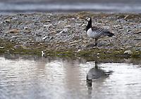 Hvitkinngjess (Branta leucopsis),  Svalbard. ----  Barnacle goose (Branta leucopsis), Svalbard.