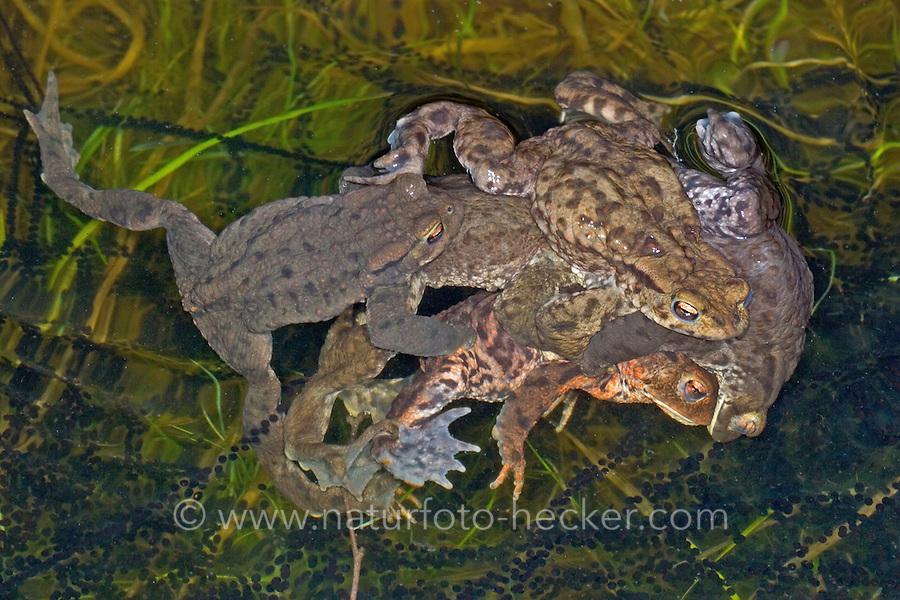 Erdkröte, Erdkröten, Paarung, Kopulation, Kopula, Männchen Huckepack auf Weibchen, beim Laichen, Ablaichen, Laichschnur, Laichschnüre, Erd-Kröte, Kröte, Bufo bufo, European common toad, copulation, pairing