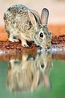 Eastern Cottontail Rabbit, Sylvilagus floridanus, drinking water, Texas, USA
