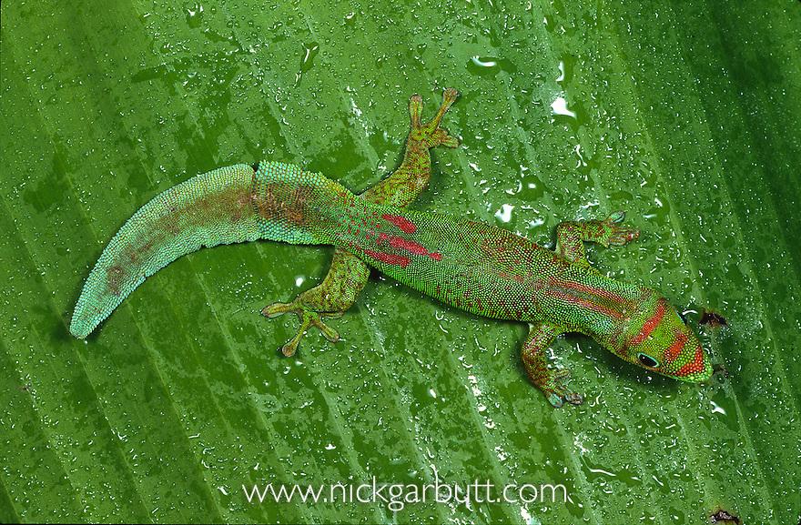Flat-tailed Day Gecko (Phelsuma serraticauda). Sambava north east Madagascar.