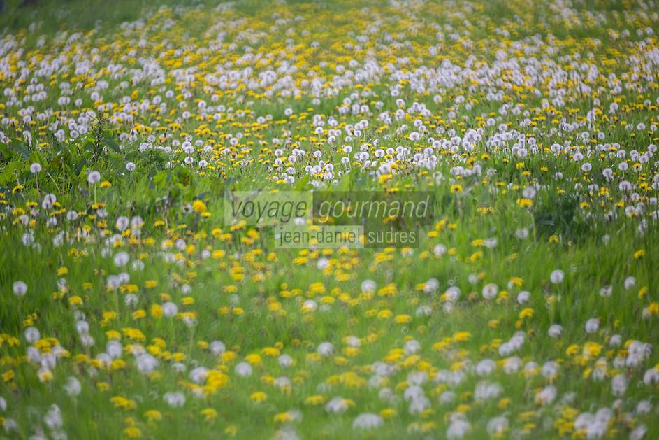 France, Calvados (14), Pays d' Auge, Bellou , champ fleuri  // France, Calvados, Pays d' Auge, Bellou , lowery meadow