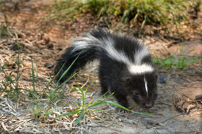 678860005 a wild baby striped skunk mephistis mephistis sniffing its surroundings in the rio grande valley in south texas