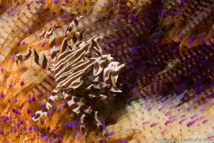 Zebra Crab on Toxic Sea Urchin.(Lissocarcimus orbicularis on Asthenosoma ijimai).Lembeh Straits, Indonesia