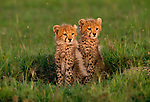 Cheetah cubs (Acinonyx jubatus), Masai Mara National Reserve, Kenya<br /> Canon EOS-1N/RS<br /> Canon EF 70-200mm lens<br /> May 1997
