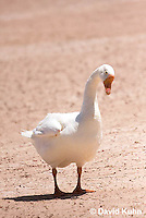 0225-1203  Escaped Domesticated White Chinese Goose in Arizona (Domesticated and Descended from the Wild Swan Goose)  © David Kuhn/Dwight Kuhn Photography