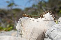 Adriatische Mauereidechse, Karstläufer, Podarcis melisellensis, Lacerta melisellensis, Dalmatian wall lizard