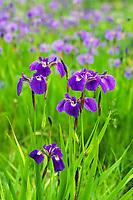 Wild iris, summer meadow, Healy, Alaska