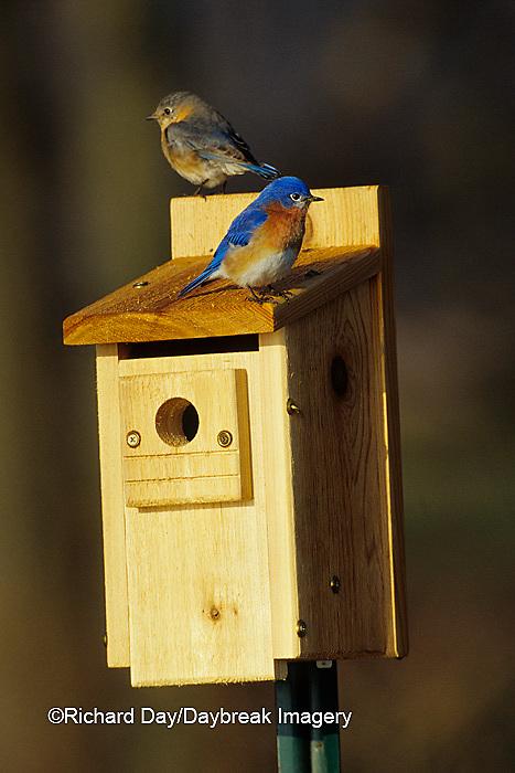 01377-05314 Eastern Bluebirds (Sialia sialis) male & female on nest box Marion Co.  IL