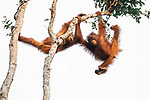 Orangutans playing in a tree by Julia Wimmerlin