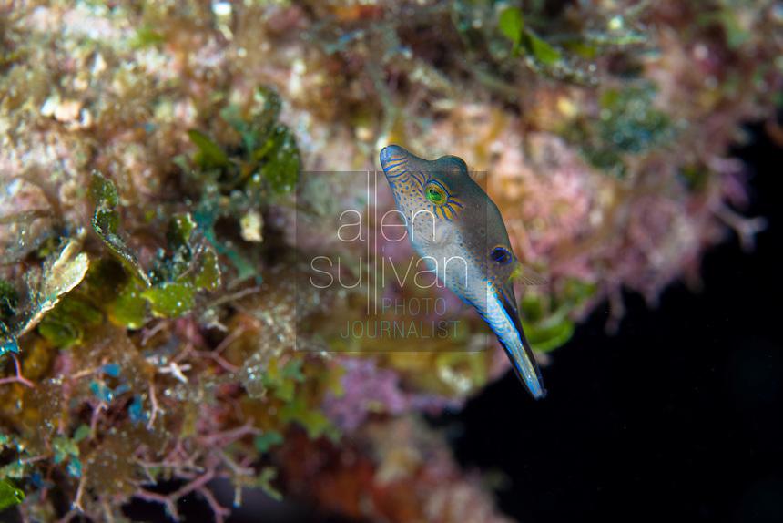 Sharpnose puffer (Canthigaster rostrata) at Robin's Nest dive site, Roatan, Honduras.