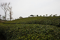Liu San Jie Tea farm near Guilin, China