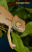 CH47-697z  Veiled Chameleon three month old young, Chamaeleo calyptratus