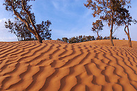 Tunisia, Ksar Ghilane, Sahara Desert, ripples in sand and trees