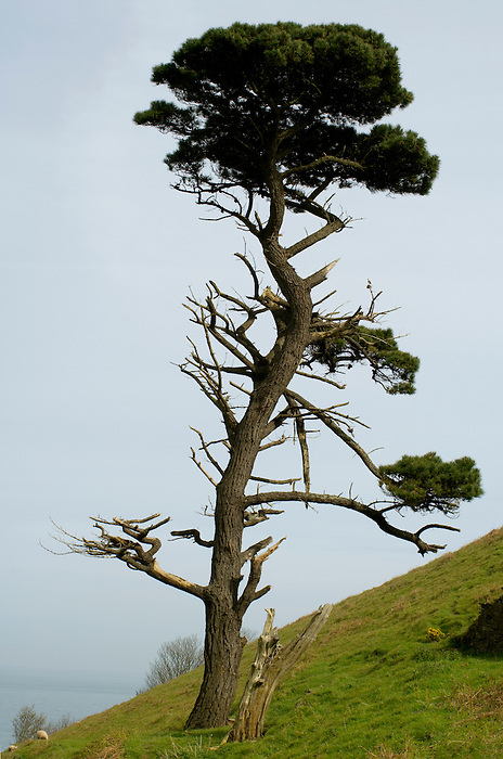 A solitary, damaged pine tree overlooks Start Bay in South Devon, England.