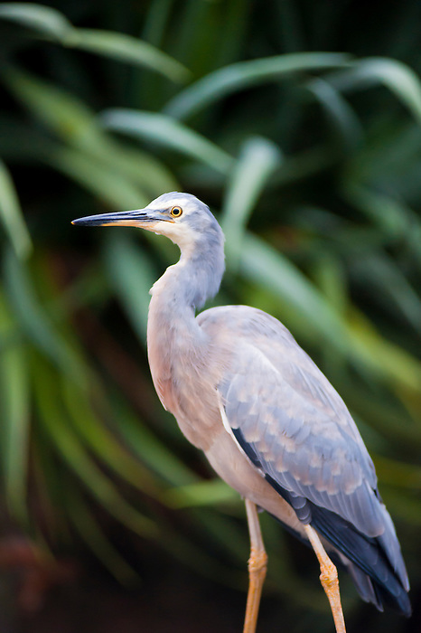 Close Up Photo of a Heron in Sydney Royal Botanic Gardens, Australia. Sydney Royal Botanic Gardens are green, spacious and have stunning views across Sydney Harbour towards Sydney Opera House, Sydney Harbour Bridge and the CBD and Circular Quay areas. The Sydney Royal Botanic Gardens are suprisingly full of all manner of wildlife, including a variety of birds, spiders, bats and insects.