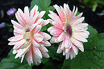 Light pink gerbera daisies wet with rain and leaves