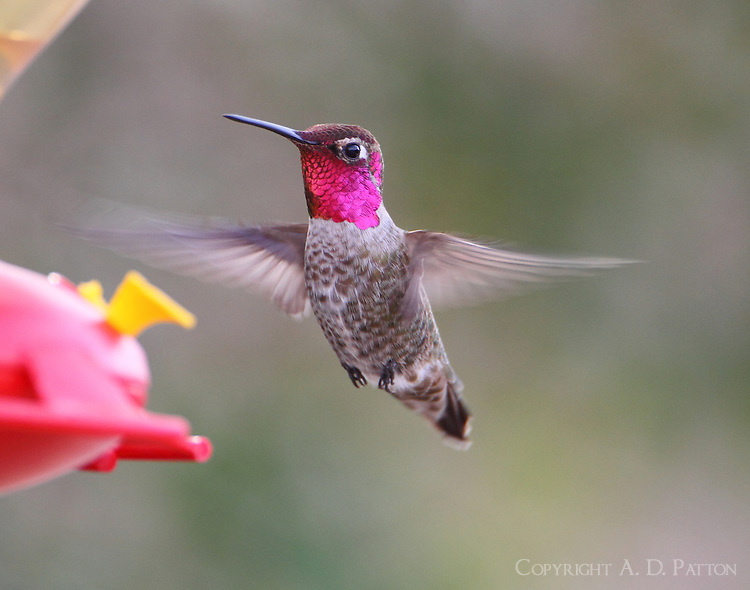 Male Anna's hummingbird