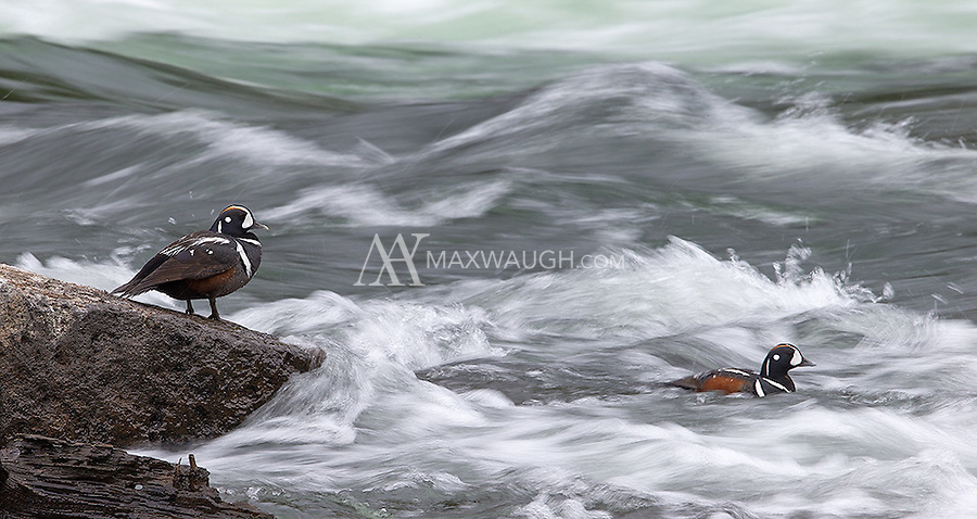 Harlequin ducks are among my favorite Yellowstone subjects.  They are adept swimmers, and put on quite a show when they surf the rapids of the Yellowstone River.