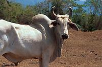 Cuba,  Zebu im Valle de Vinales, Provinz Pinar del Rio