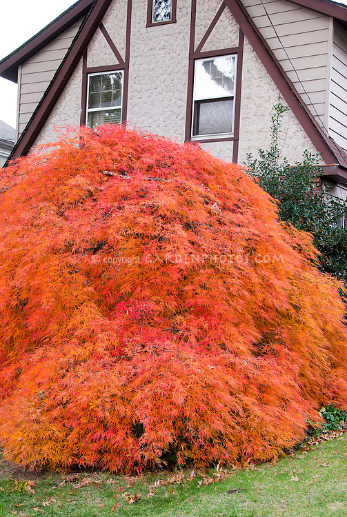 Specimen fall foliage tree orange Japanese maple Acer palmatum var dissectum in front of house, weeping plant habit